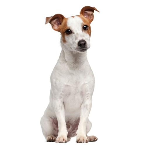 Pies rasy Jack Russell Terrier