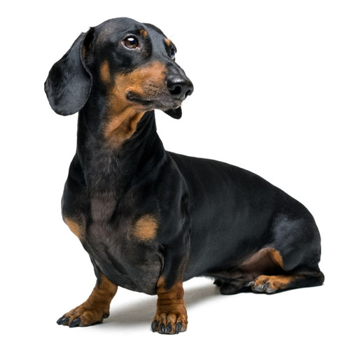 Pies rasy Jamnik