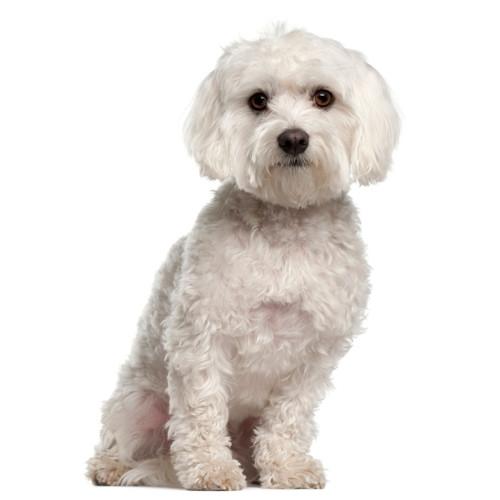 Pies rasy Maltańczyk