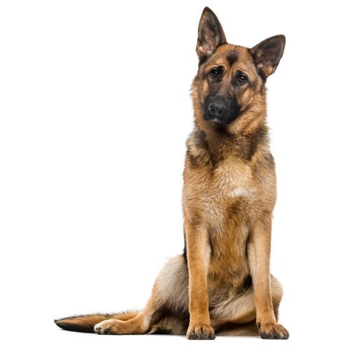 Pies rasy Owczarek Niemiecki