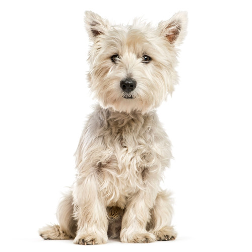 Pies rasy West Highland Terrier