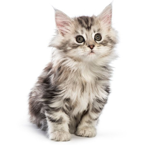 Kocię Maine Coon