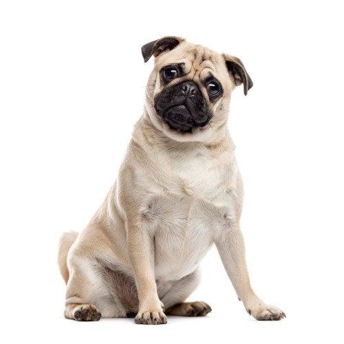 Pies rasy mops
