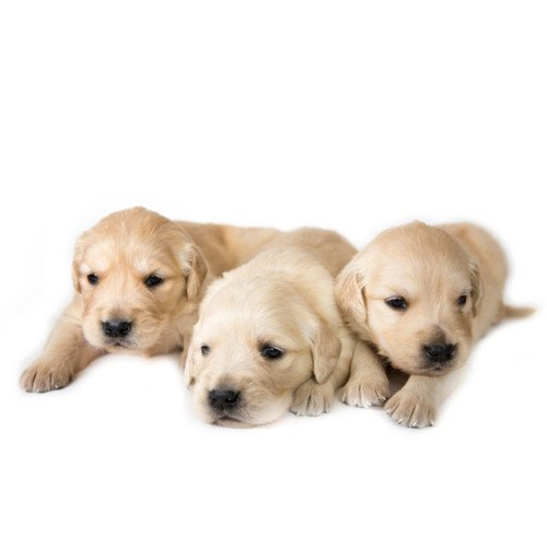 Labrador szczeniak