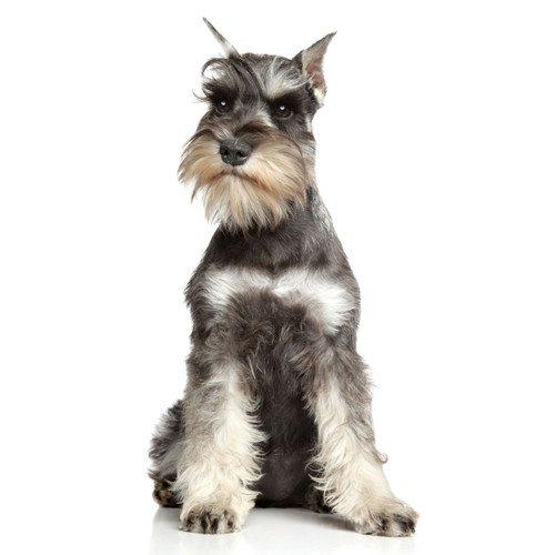 Pies rasy Sznaucer