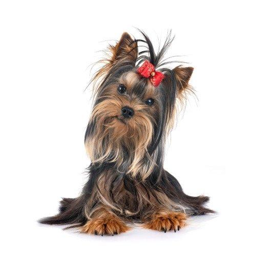 Pies rasy Yorshire Terrier