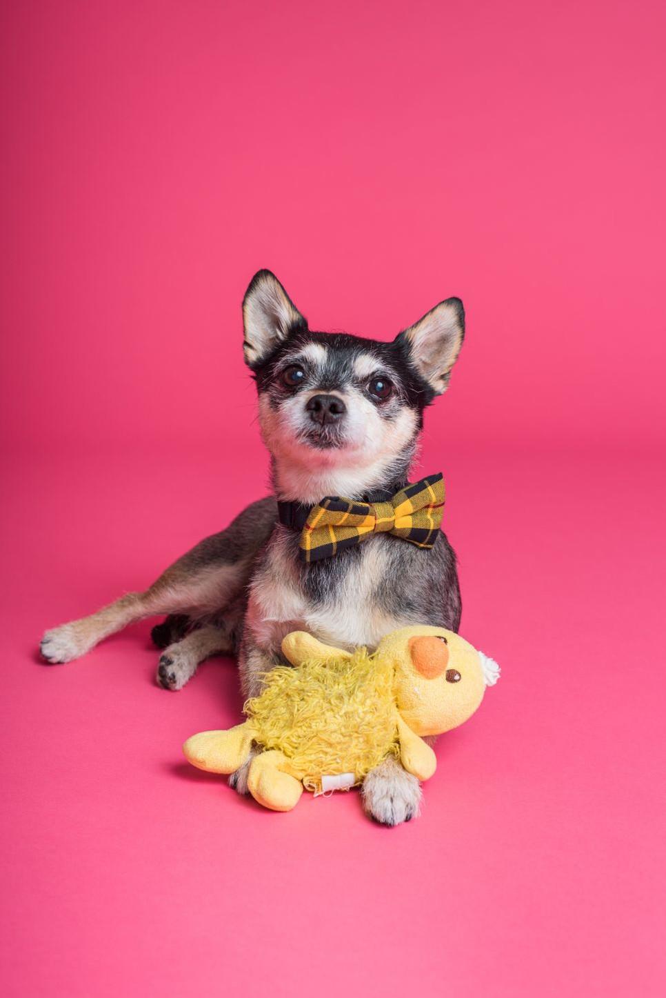 dlaczego pies nosi żółtą wstążką na szyi?