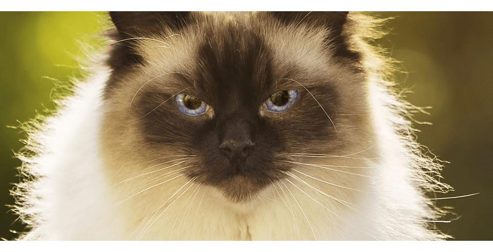 Encyklopedia kotów: kot rasy Ragdoll. Czy Ragdolle są najsłodszymi kotami na świecie?