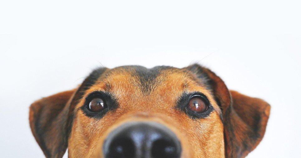 Pies ma znacznie szersze pole widzenia niż człowiek i lepiej widzi w ciemności, ale nie rozróżnia wszystkich kolorów.