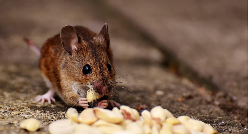 O czym trzeba wiedzieć, decydując się na hodowlę myszy? Czym się wyróżnia ten mały gryzoń i jakie ma potrzeby?