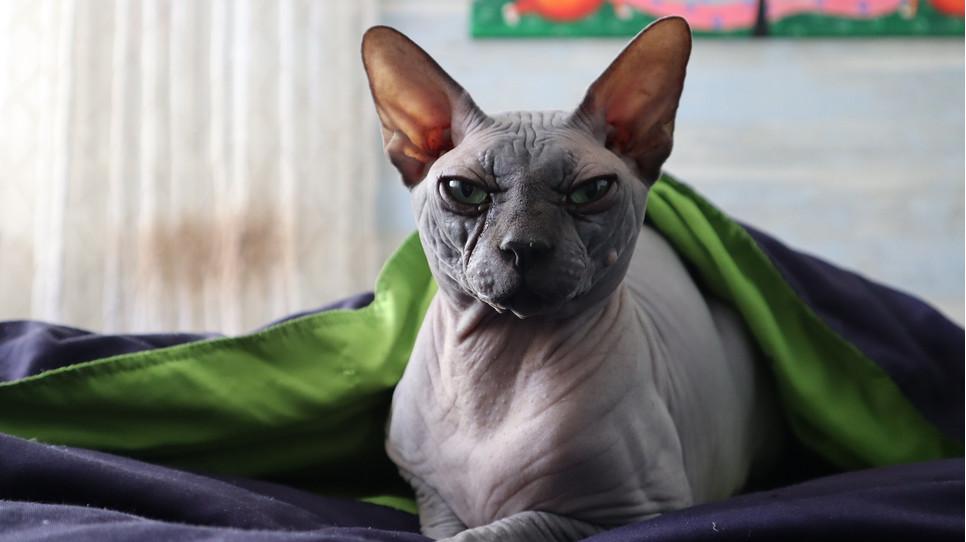Łyse koty (bezwłose) powstały na skutek samoistnej mutacji genetycznej. Wykształcono z nich rasę sfinksów kanadyjskich.