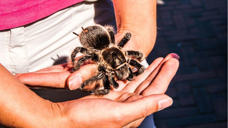Jakie wymagania hodowlane ma tarantula i czy jesteśmy w stanie trzymać ją w domu? Odpowiedzi w artykule.