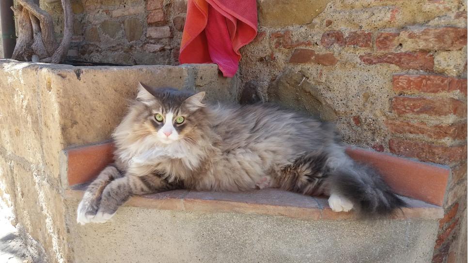 Kot syberyjski wywodzi się z Rosji. To pieszczoch bardzo lubiący zabawę, zwłaszcza wspinanie i wdrapywanie się.