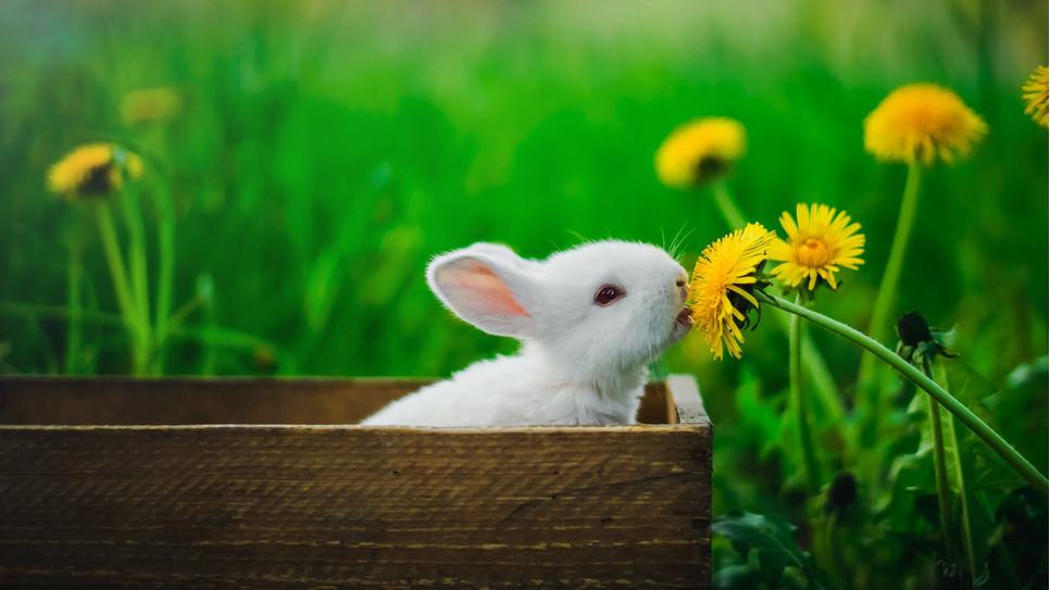 Myksomatoza jest bardzo groźną chorobą królików. Na szczęście istnieje na nią szczepionka.