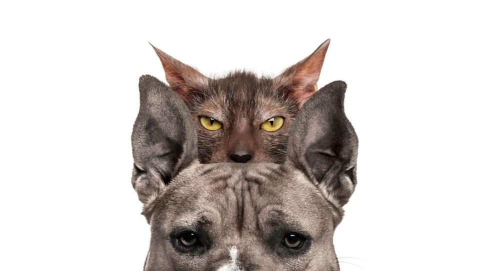 Lykoi to koty przypominające wilkołaki.
