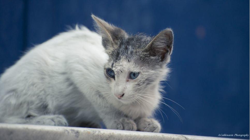 Grzybica u kota to kłopotliwa i bolesna choroba skórna, która wymaga natychmiastowego leczenia.