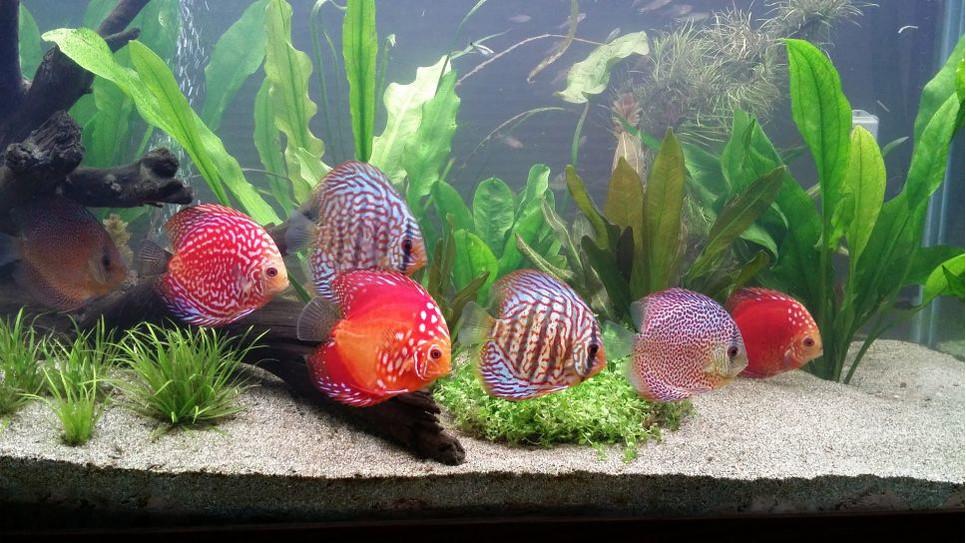 Czym charakteryzują się paletki, jak o nie zadbać i dlaczego nie są to ryby dla wszystkich?