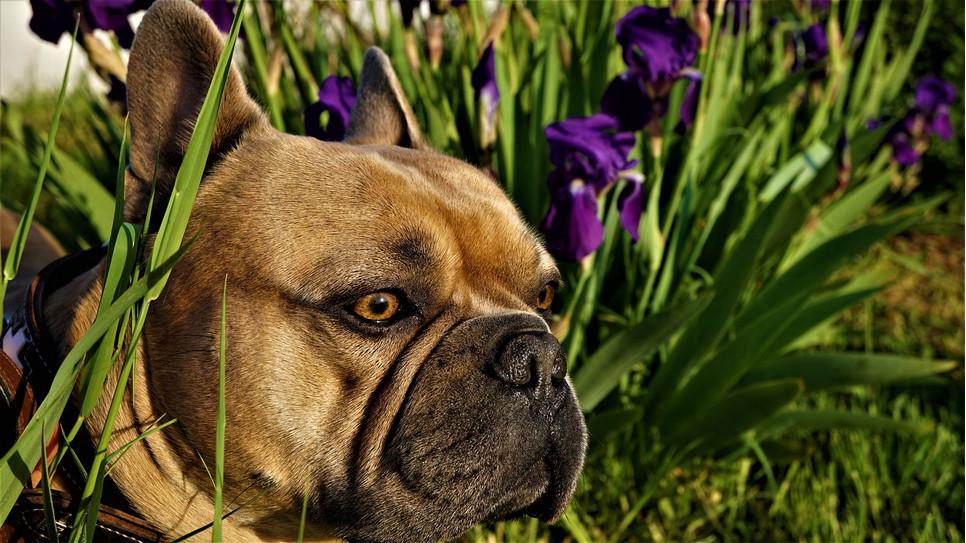 Pies ugryziony przez komara może nabawić się zapalenia skóry. Grożą mu także choroby zakaźne przenoszone przez owady.