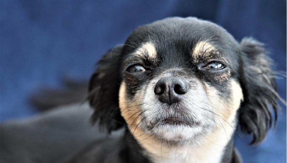 Psie oczy wydzielają łzy, czy jednak jest to umiejętność płaczu łzami? Jak pies wyraża smutek czy tęsknotę i co zrobić, gdy zobaczymy w oczach naszego psa łzy?