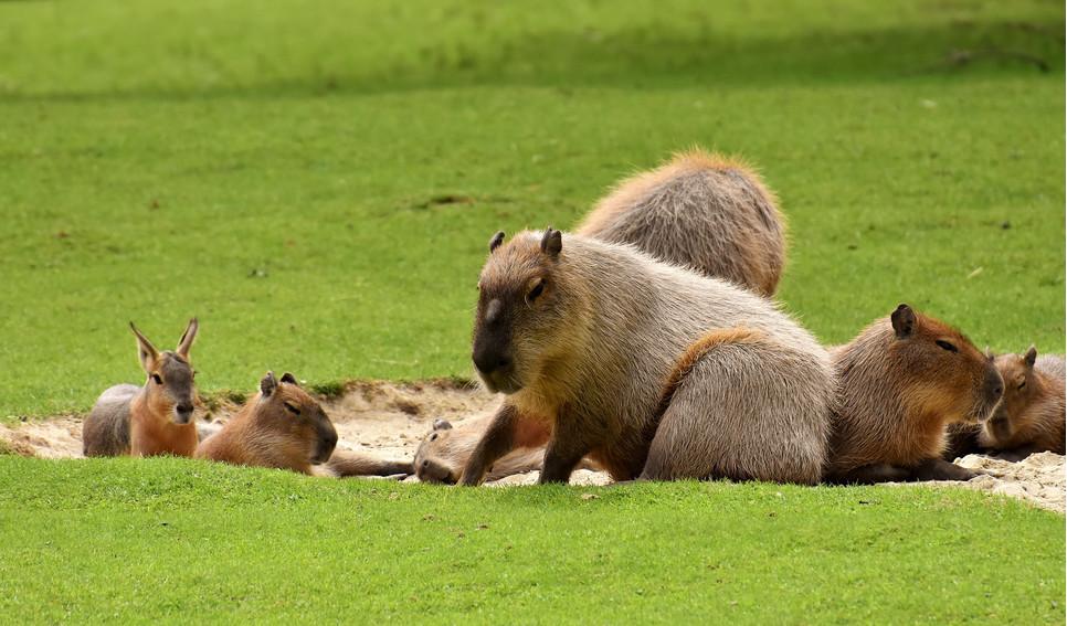 Kapibara jest inteligentna i da się ją oswoić. Wówczas może nawet pełnić rolę przewodnika osób niewidomych.