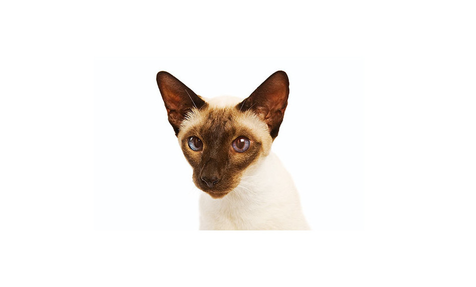 Encyklopedia kotów: kot rasy syjamski (Siamese). Jakie są koty syjamskie?