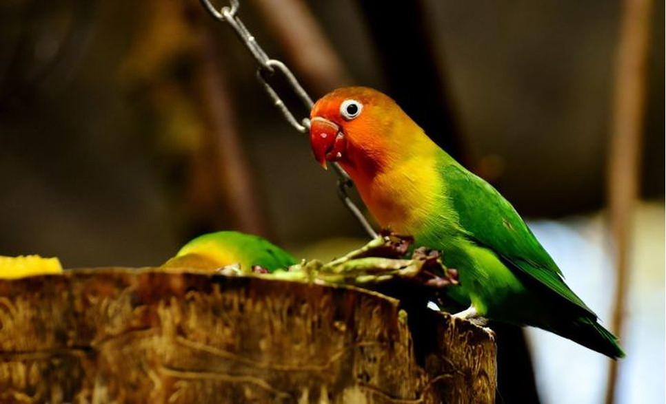 Papużki nierozłączki są głośnymi i bardzo aktywnymi ptakami