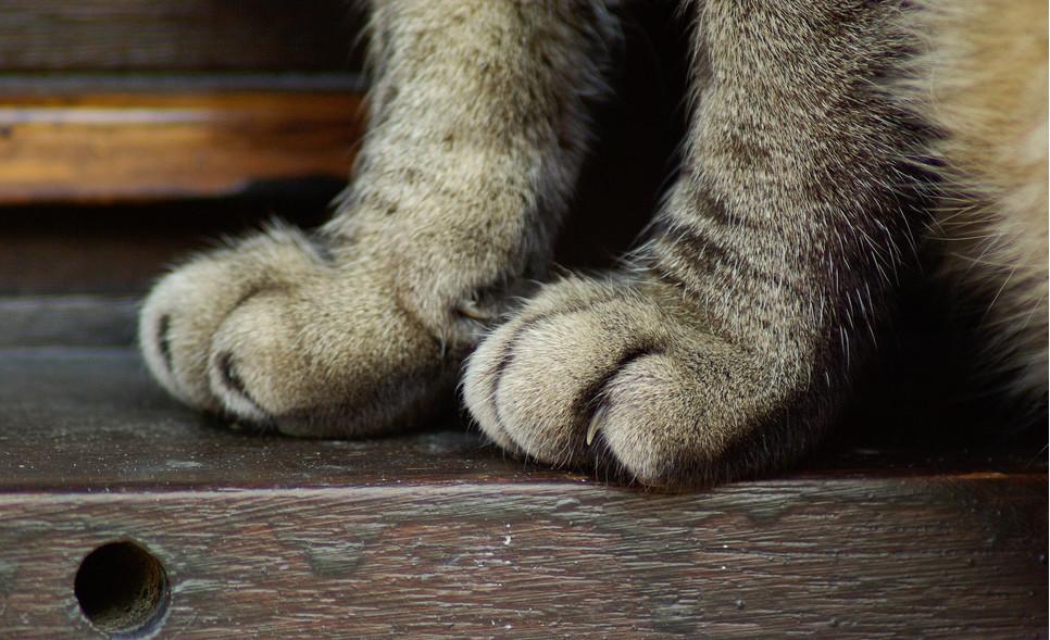 Obcinanie pazurów kotu jest wskazane, jeśli zwierzę nie wychodzi z domu.