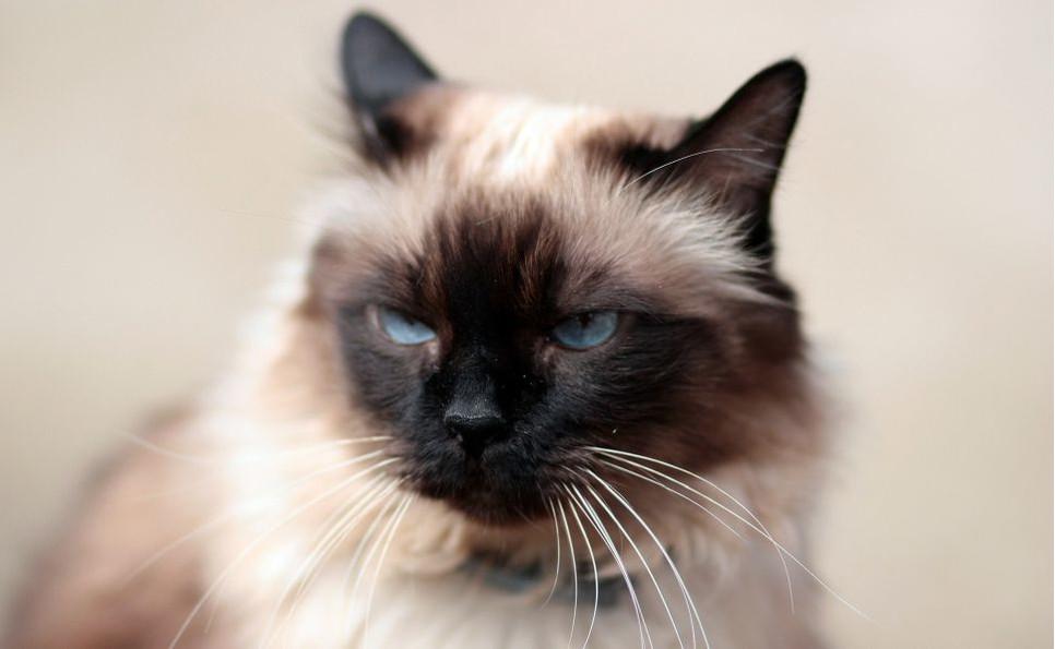 Jak wygląda kot balijski i co go łączy z kotem syjamskim?
