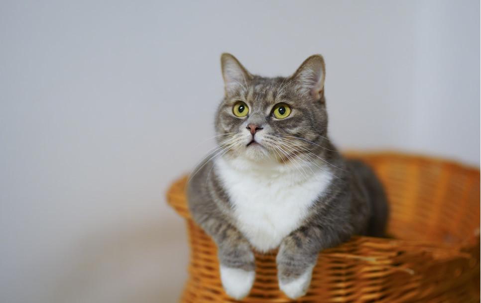 Kot czy kotka…różnice zauważyć można nie tylko w budowie narządów płciowych, ale i ogólnym wyglądzie i zachowaniu zwierząt.