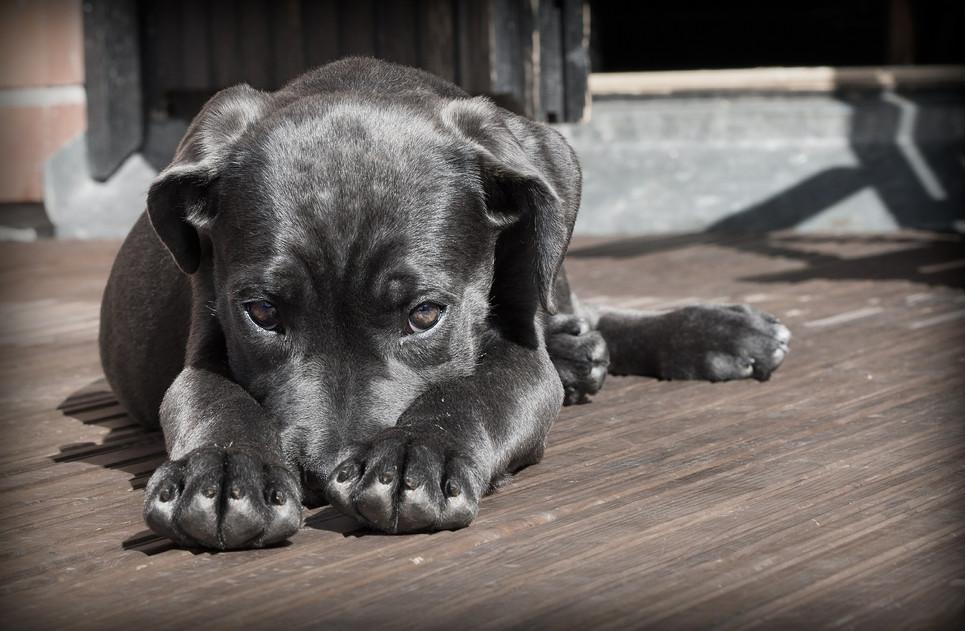 Zapalenie pęcherza u psa jest schorzeniem stosunkowo niegroźnym, ale zaniedbane może prowadzić do poważnych powikłań.