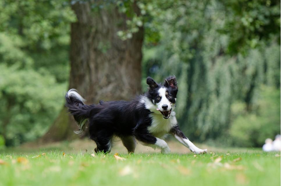 Border collie to średniej wielkości pies, który jest posłuszny, mądry i chętny do współpracy. Lubi aktywny tryb życia.