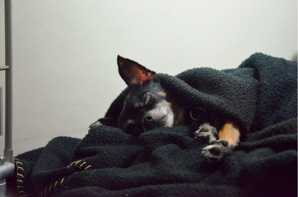 Pies trzęsie się z zimna, ze strachu, albo podczas zatrucia lub choroby.