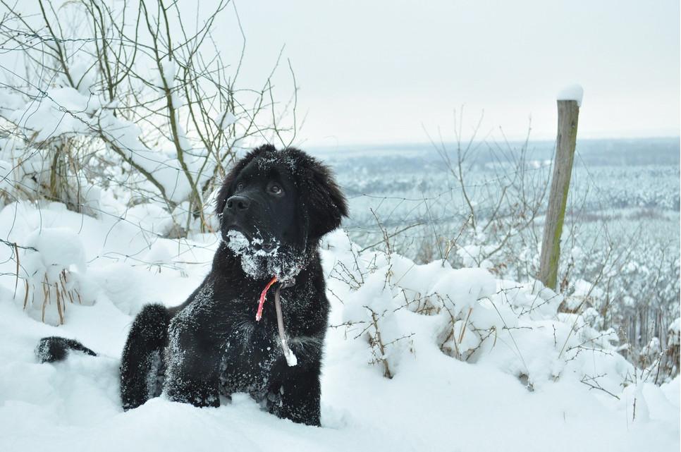 Nowofundland to duży pies o umiarkowanym temperamencie i zrównoważonym charakterze. Ma grube i gęste futro.