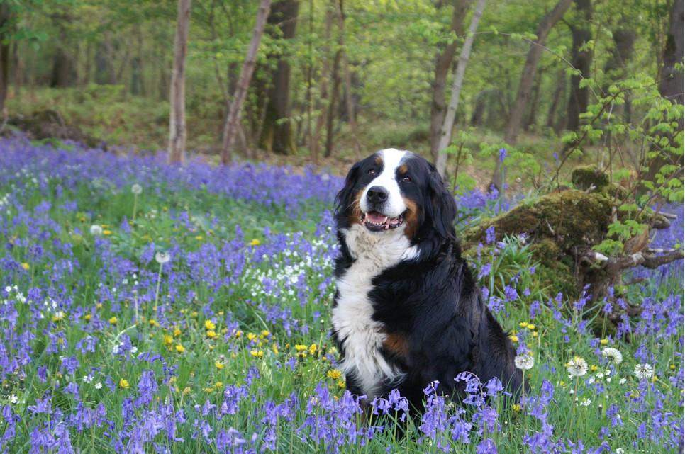 Berneński pies pasterski łączy w sobie dużą siłę, spokój, łagodność i zamiłowanie do pieszczot.