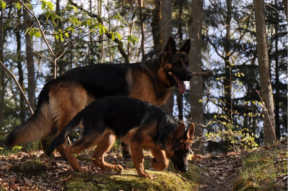 Owczarek niemiecki jest jedną z najbardziej popularnych ras w skali globu. To inteligentne, bystre i przyjazne psy.