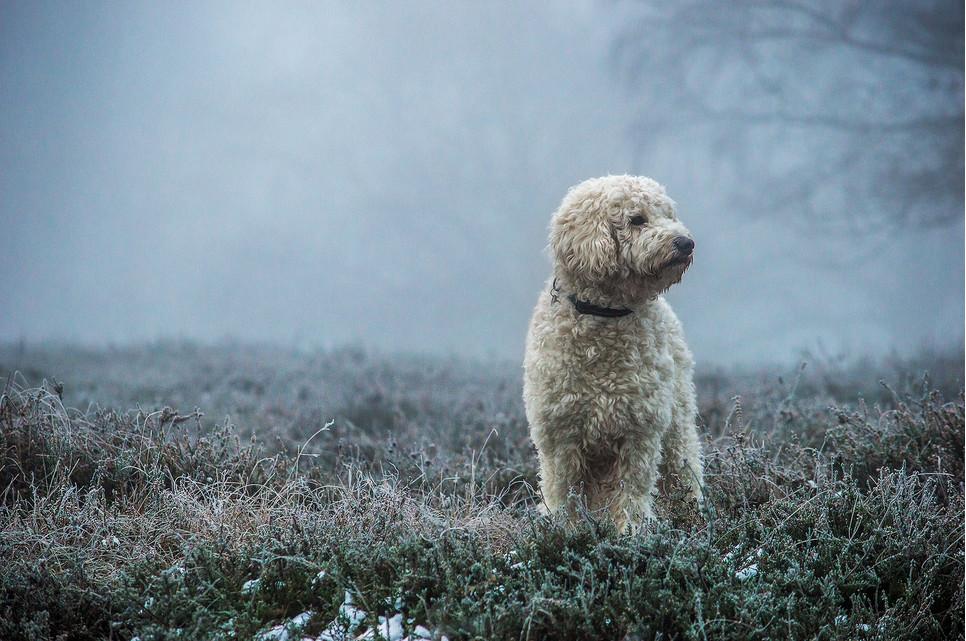 Goldendoodle jest rasą powstałą ze skrzyżowania pudla i golden retrievera. To idealne psy rodzinne i do towarzystwa.