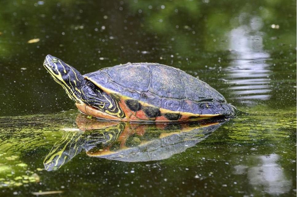 Jakie wymagania mają najpopularniejsze żółwie wodne?