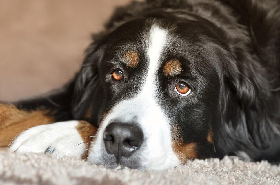 Skręt żołądka u psa jest poważną dolegliwością, która nie zauważona w porę może doprowadzić nawet do śmierci zwierzęcia.