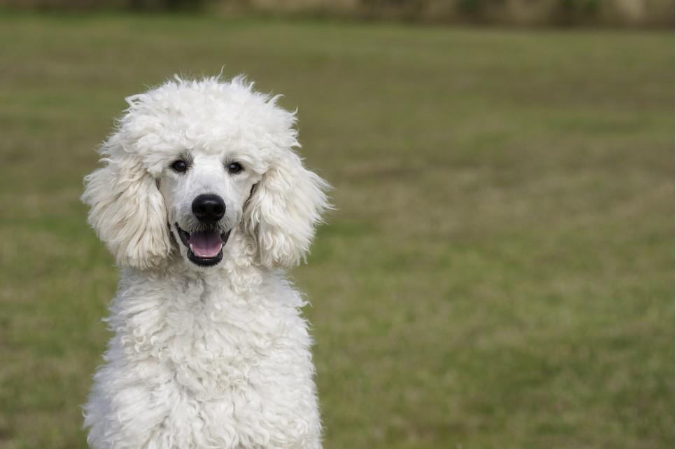 Charakterystyka pudli. Jakie są psy rasy pudel?