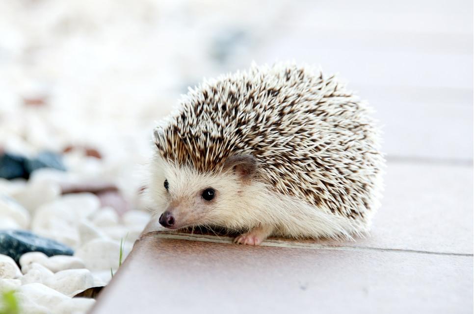 Jeż domowy to niewielkie zwierzątko, nad którym opieka jest bardzo prosta.