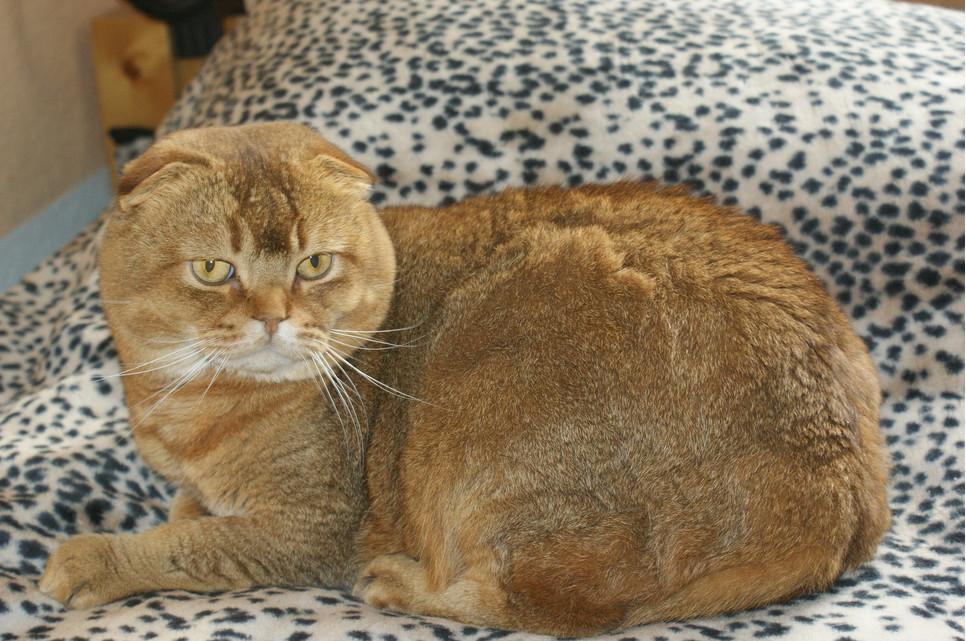 Kot szkocki zwisłouchy jest średniej wielkości i ma nietypowy wygląd uszu. Są one małe, zaokrąglone i szeroko osadzone.