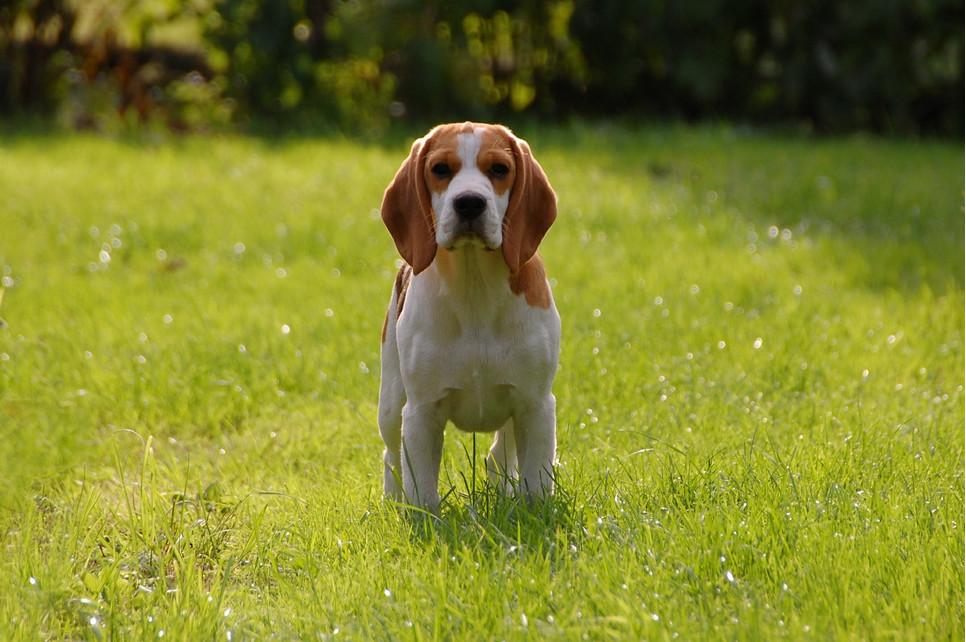Beagle to najmniejsze psy gończe. Są wesołe, żwawe, skłonne do zabaw. Niestety mają tendencję do włóczęgostwa.