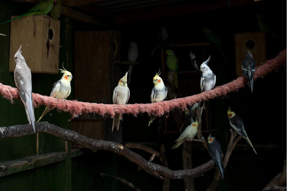 Papuga nimfa źle znosi samotność – powinna mieć stałe towarzystwo w postaci innego przedstawiciela jej gatunku.
