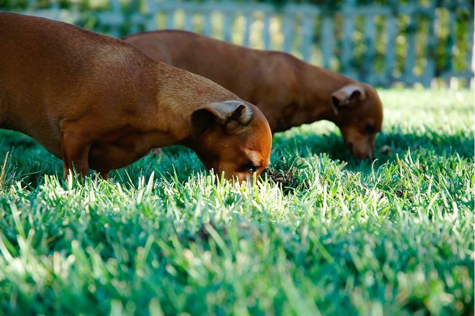 Dlaczego pies je trawę? Takie zachowanie związane jest przede wszystkim z niestrawnością lub brakami w diecie.