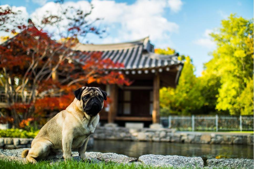 Mops to niewielki pies o ogromnym, serdecznym sercu. Ceniony główne ze względu na swój przyjazny, łagodny charakter.