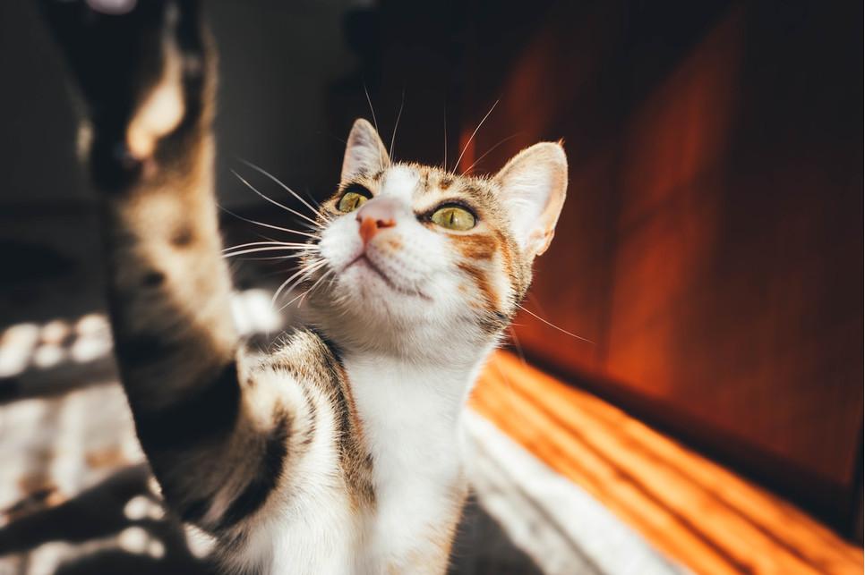 Kot dachowiec to najczęściej spotykany kot domowy. Nie posiada rasowego rodowodu. Może mieć przeróżne umaszczenie.