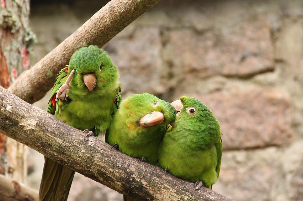 Papuga falista kosztuje niewiele i ma małe wymagania. Trzeba jednak zapewnić jej bezpieczną przestrzeń do latania.