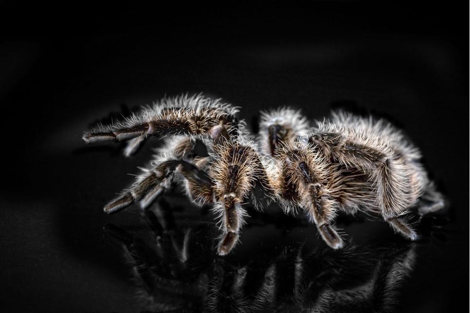 Ptasznik tygrysi, ptasznik niebieski, a może Poecilotheria metallic? Który z pająków najlepiej sprawdzi się w domowej hodowli?
