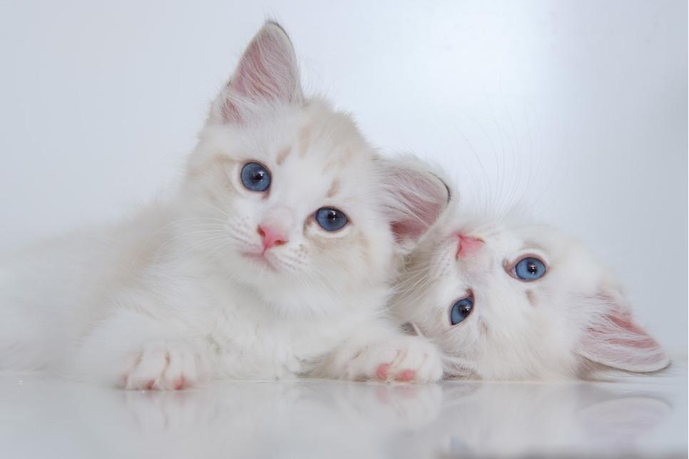 Najpiękniejszy kot to ten szczęśliwy. Sprawdź jednak subiektywny ranking najpiękniejszych ras.