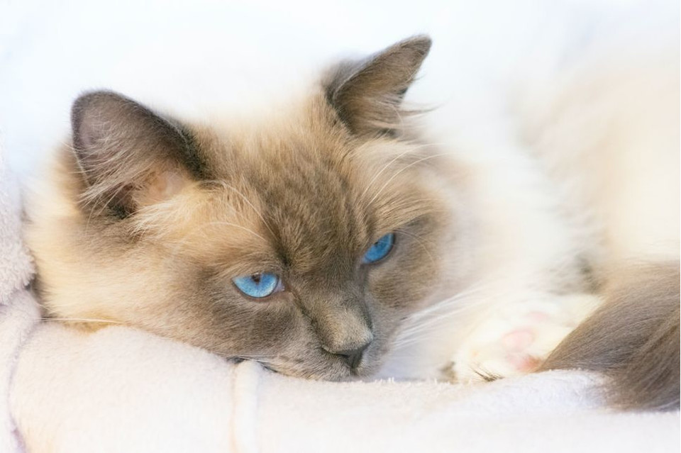 Jaki jest kot tonkijski?